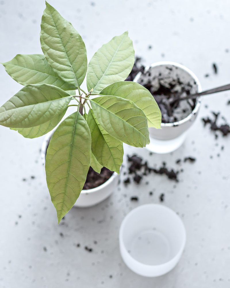 Growing (and repotting) avocado plant | www.my-full-house.com | Top Scandinavian Interior and Lifestyle Blog