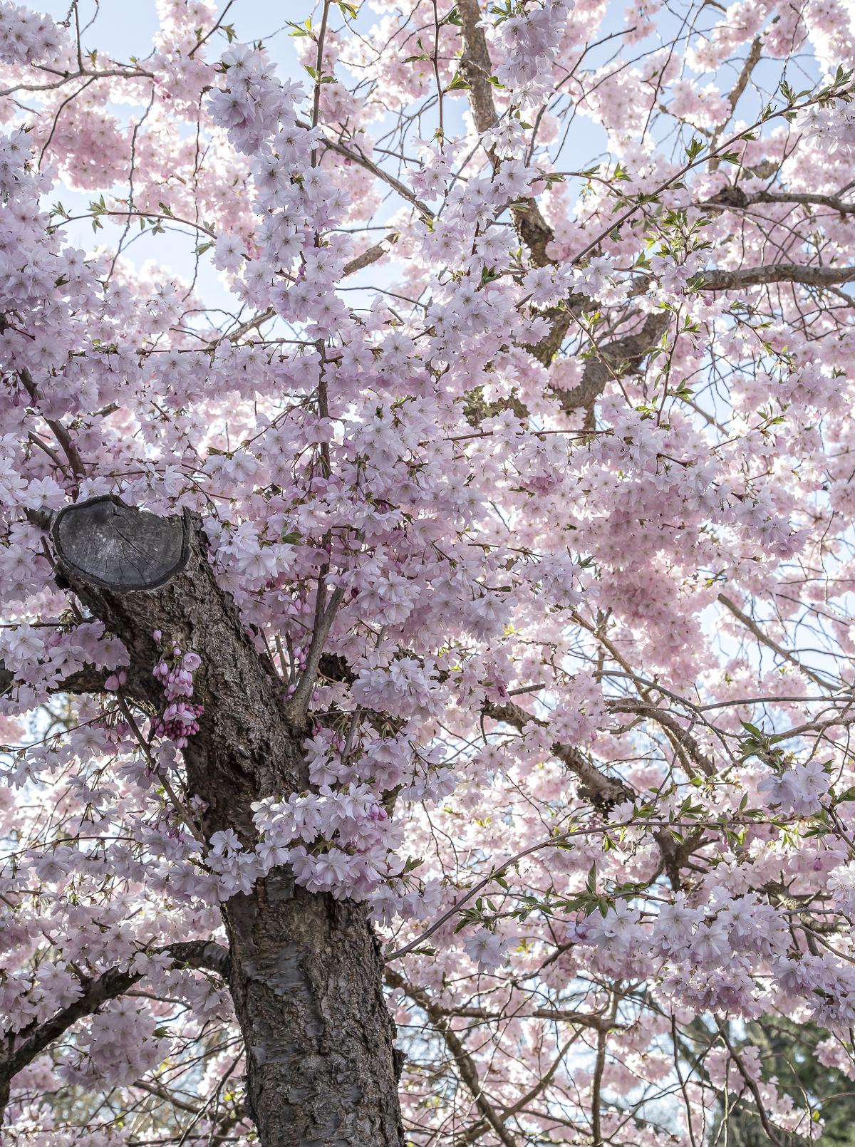 Sakura time – visiting Bispebjerg Cemetery
